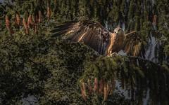 Schwarzer Milan (Toledo 22) Tags: schwarzwald blackforest nature tier fauna forest wald schwarzermilan seemilan wassermilan habicht ast baum bird vogel bussard schwarzmilan greifvogel
