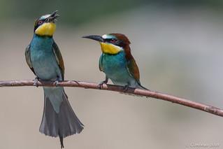 Gruccioni (Merops apiaster).