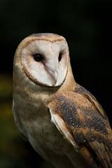Barn Owl Portrait (Margo Dolan) Tags:
