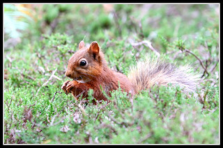 IMG_0103 Red Squirrel