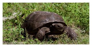 Gopher Tortoise (Gopherus polyphemus) GOTO:) with a blade of grass sticking out -