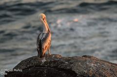 PELICANO CAFÉ (Brown Pelican) - 1100 Pelecanus Occidentalis (Miguel Muñoz Villablanca) Tags: pelicanocafé brownpelican pelecanusoccidentalis costasdechile océano pacíficoregión de valparaísoaves chilecorriente humboldt