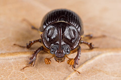 Odonteus armiger (NakaRB) Tags: 2017 insecta coleoptera geotrupidae odonteusarmiger male