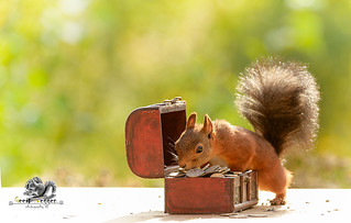 red squirrel with a chest with coins