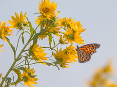A Perfect Fall Day (wdterp) Tags: butterfly monarch wildflowers sunflowers fall autumn migration nealsmithnationalwildliferefuge iowa