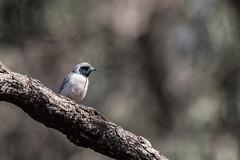 masked woodswallow (crispiks) Tags: birdlife chiltern forest mount pilot national park north east victoria nikon d500 200500 f56 masked woodswallow glider track