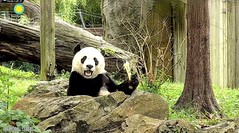 2018_09-11i (gkoo19681) Tags: beibei chubbycubby fuzzywuzzy adorableears brighteyed toofers treattime sugarcane soyummy delicious savoring cooldude posing sohappy toocute beingadorable meltinghearts precious darling amazing comfy ccncby nationalzoo