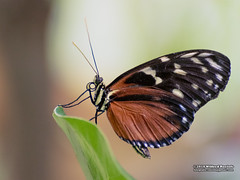 Butterfly (Roelofs fotografie) Tags: wilfred roelofs fotgrafie nikon d5600 insects insecten vlinder butterfly animal neterlands nature holland dutch 2018 insect arnhem burgerszoo dieren dierentuin dierenpark dier animals