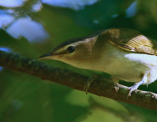 Red-eyed-Vireo-48w