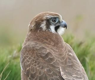 Portrait of a Brown Falcon