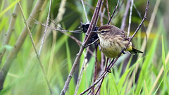 Palm Warbler, Miller Creek - Duluth MN USA, 09/18/18 (TonyM1956) Tags: elements sonyalphadslr sonyphotographing