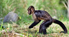 capuchin (hansjrgenknppel) Tags: kapuzineraffe capuchin affe natur nikon d 850 nikkor 200500mm hansjuergen knueppel germany deutschland
