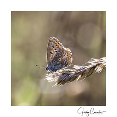 Enjoying the Indian Summer (cornelis1980) Tags: polyommatus icarii icarus blauwtje vlinder butterfly butterflie schmetterlink bug insect wings eyes blue orange bokeh balls nature critter