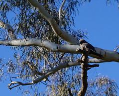 bird in a tree Lake Ginninderra (spelio) Tags: act canberra australia