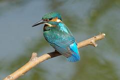 Kingfisher (Hugobian) Tags: kingfisher bird birds nature wildlife fauna animal swt lackford lakes pentax k1