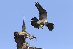 IMG_0568-4 (superbradphotos) Tags: superbrad superbradphotos ianbradley derbyshire belpereastmill belperrivergardens belperperegrines peregrin falcon eyass tiercel peregrinejuvenile raptors falcons birdsofprey foodpass