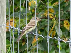 flycatcher (natureburbs) Tags: dukefarms summer newjerseynature august bird birding birdsinnewjersey flycatcher
