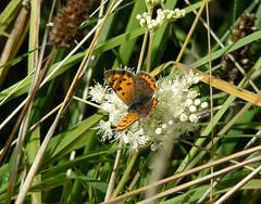 Small Copper Butterfly III (Dr Nigel) Tags: northeast england panasonic lumix dmcfz8 wildlife nature insect countydurham croxdalehall lepidoptera butterfly smallcopper lycaenaphlaeas smallcopperbutterfly
