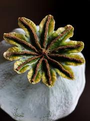 Poppy 3 (Nick_Fisher) Tags: poppy seeds head nickfisher macro picolay papaver somniferum