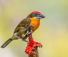 Scarlet-crowned Barbet (Capito aurovirens) (NigelJE) Tags: scarletcrownedbarbet barbet capitoaurovirens capito capitonidae newworldbarbet sanilodge amazon naporiver ecuador ec