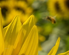 Busy as a Bee . . . (Dr. Farnsworth) Tags: sunflower bloom petals bee bokeh focus acme bates fernridge mi michigan summer august2017 fantasticnature nationalgeographic discoveryaward discovery ngc