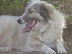 Φαίδρα!!  P1050371 (amalia_mar) Tags: 7dwf fauna animal dog sundaylights sheperd φαίδρα