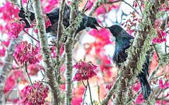 Tūī 48 (Black Stallion Photography) Tags: tūī bird wildlife newzealand nzbirds pink flowers blossom spring nectar purple blue green feathers yellow pollen beak argument black stallion photography igallopfree
