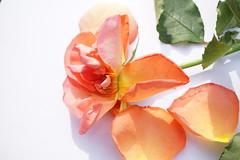 falling to pieces - roses go first (quietpurplehaze07) Tags: 7dwfwednedaysmacro rose orange apricot fallingtopieces bouquet 48 macro anniversary