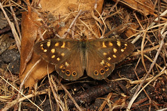 Pararge aegeria (Speckled Wood) - Guernsey. (Nick Dean1) Tags: animalia arthropoda arthropod hexapoda hexapod insect insecta lepidoptera nymphalidae speckledwood parargeaegeria guernsey channelislands greatbritain