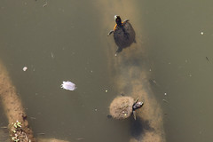 Slider Turtles - Cottonwood Falls, Kansas (BeerAndLoathing) Tags: river water summer 2017 roadtrip reptiles kansas 77d turtle colorado trip wildlife canon eclipsetrip august usa canoneos77d