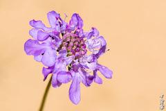Dune & Flover... (N.Batkhurel) Tags: flower flora gobi dune sand mongolia macro closeup ngc nikon nikond5200 nikkor 105mm natur