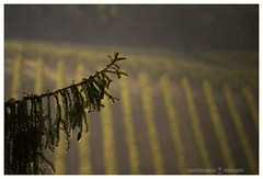 The rain is over (GP Camera) Tags: nikond7100 nikonafsdx55300mmf4556gedvr countryside campagna rain pioggia pinetree pino frond fronda drops gocce vineyard vigneto focus messaafuoco bokeh sfocato softbackground sfondosoffice pov puntodivista lightandshadows lucieombre lighteffects effettidiluce lightness leggerezza shades sfumature silence silenzio calm calma quiet quiete textures trame vignetting geometries geometrie perspective prospettiva whiteframe cornicebianca italy italia piemonte monferrato darktable gimp opensource freesoftware softwarelibero digitalprocessing elaborazionedigitale