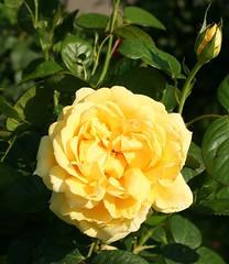 Edelrose 'Michelangelo' (Wolfgang Bazer) Tags: edelrose hybrid tea rose teehybride michelangelo blüte blume flower blossom volksgarten wien vienna österreich austria