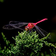 Reddy (Portraying Life, LLC) Tags: dbg6 da3004 hd14tc k1mkii michigan pentax ricoh unitedstates closecrop handheld nativelighting dragonfly meadow hiddenlakegardens