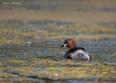 Little Grebe within the weed, Grimley, Worcestershire. (conrad_hanchett) Tags: littlegrebe grebe grimley grimleypits nikond500 worcestershire naturephotography worcester august2018 sigma150600mmsport pondweed