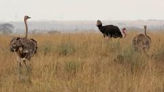 Two females pursue a male (Nagarjun) Tags: ostrich bigbird wildlife avifauna nairobinationalpark kenya eastafrica savannah safari