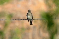 Western Wood-Pewee (6795) (Bob Walker (NM)) Tags: bird perching fencewire pewee westernwoodpewee contopussordidulus wewp losalamos newmexico usa
