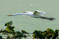 Great Egret (mayekarulhas) Tags: great egret johnheinznaturereserve philadelphia pennsylvania canon canon500mm canon1dxmark2