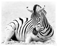 ZEBRA (MAICN) Tags: 2018 nature mono tier sw natur animal duisburg bw blackwhite monochrome schwarzweis zoo einfarbig zebra zooduisburg wildlife
