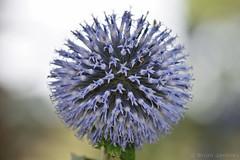 Alium (Bri_J) Tags: tropicalbutterflyhouse northanston southyorkshire uk yorkshire nikon d7200 flower alium blue