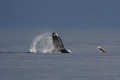 Humpback Whale (iansgledhill) Tags: whale humpback humboldt northcoast california ocean life mammal fluke amazing awesome