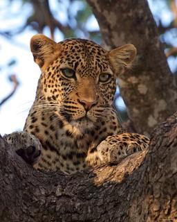IMGP9646 Leopard