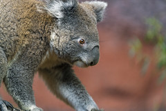 Profile of a koala (Tambako the Jaguar) Tags: koala masupial male cute brown walking branch profile portrait close zürich zoo switzerland nikon d5