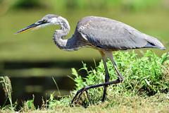 Blue Heron (laurie.mccarty) Tags: nature wildlife grass green heron bird bokeh blueheron