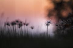 Fruit de pulsatilles (Thomas Vanderheyden) Tags: fruit graine flore flora flower fleur vegetal sunset coucherdesoleil fujifilm samyang135mm thomasvanderheyden colors couleur bokeh anemonepulsatillal