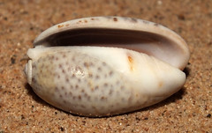 Inflated olive snail (Oliva (Carmione) bulbosa f. inflata) under side (shadowshador) Tags: inflated olive snail oliva carmione bulbosa f cf var inflata neomura eukaryota opisthokonta holozoa filozoa animalia eumetazoa bilateria protostomia lophotrochozoa mollusca conchifera gastropoda gastropod gastropods caenogastropoda caenogastropod caenogastropods neogastropoda neogastropod neogastropods olivoidea olividae olivinae conchology malacology invertebrate invertebrates taxonomy scientific classification biology sea snails shell shells sand sandy beach wildlife life jeddah makkah saudi arabia saudiarabia redsea