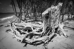 North Beach (Beth Reynolds) Tags: tree beach stump bleached landscape nature sand florida curves wood salt gulf bay summer fort desoto ft park preserve mono monochrome blackandwhite