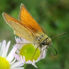 Товстоголовка-тире (Thymelicus lineola) (Gansucha) Tags: lepidoptera hesperiidae thymelicus