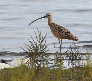 Long-Billed Curlew  -  Tidal Mudflats on San Diego Bay.