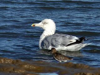 Herring gull 2s3w 7.9.18